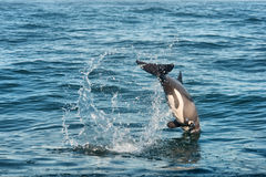 West Coast dolphin dives into water Royalty Free Stock Photo