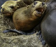 California Sea Lions Stock Photography