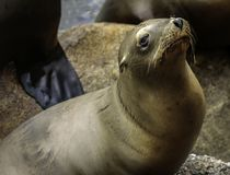 California Sea Lion. West coast pinniped close up detail relaxing Royalty Free Stock Photo