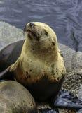 California Sea Lions Royalty Free Stock Photo