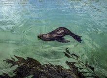 California Sea Lion Stock Images