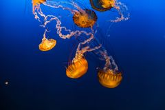 West Coast Sea Nettles in Omaha Henry Doorly Zoo. West Coast sea nettles as seen in Henry Doorly Zoo in Omaha Nebraska They are carnivores in the family of stock photography