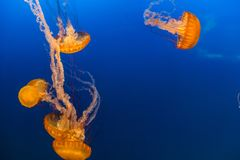 West Coast Sea Nettles in Omaha Henry Doorly Zoo. West Coast sea nettles as seen in Henry Doorly Zoo in Omaha Nebraska They are carnivores in the family of stock photo