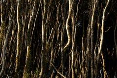West coast wind blown trees. Manuka trees on the west coast of new Zealand Stock Photo