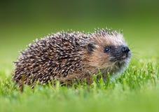 West European Hedgehog (Erinaceus europaeus). Photo of West European Hedgehog royalty free stock photo