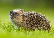 West European Hedgehog (Erinaceus europaeus. Wildlife photo of West European Hedgehog royalty free stock images