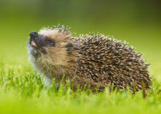 West European Hedgehog (Erinaceus europaeus Royalty Free Stock Images