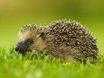 West European Hedgehog (Erinaceus europaeus. Wildlife photo of West European Hedgehog royalty free stock photos