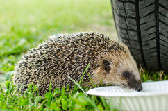 West European hedgehog Stock Photo