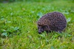 West european hedgehog ,Erinaceus europaeus,on a green meadow. Wild animal on green lawn Royalty Free Stock Photo