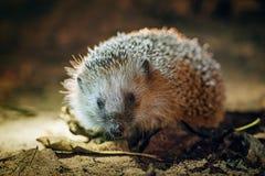 West European Hedgehog (Erinaceus Europaeus) Royalty Free Stock Photography