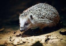 West European Hedgehog (Erinaceus Europaeus) Stock Photo