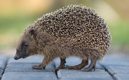 West European Hedgehog, West Europese egel, Erinaceus europaeus. Hedgehog crossing the road, Egel de weg overstekend royalty free stock image