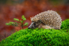 West European Hedgehog in green moss with little spruce tree, orange background during autumn, Germany Stock Image