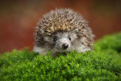 West European Hedgehog in green moss with orange background during autumn Royalty Free Stock Photography