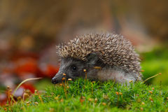 West European Hedgehog in green moss with orange background during autumn Royalty Free Stock Photo
