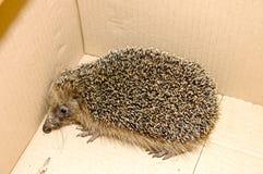 West European Hedgehog Royalty Free Stock Image