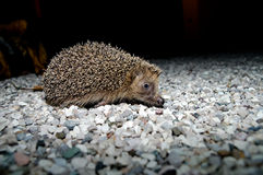 West European Hedgehog Stock Photo