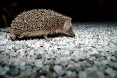 West European Hedgehog Stock Photos