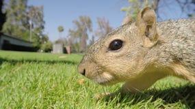 West-Gray Squirrel Macro Lizenzfreie Stockfotografie