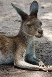 West-Grey Kangaroo, Macropus fuliginosus Lizenzfreie Stockfotos