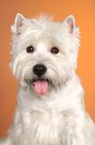 West haighland white terrier Royalty Free Stock Image