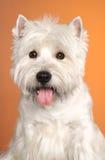 West haighland white terrier