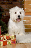 West haigland white terrier, christmas Royalty Free Stock Image