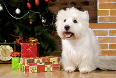 West haigland white terrier, christmas Royalty Free Stock Photos