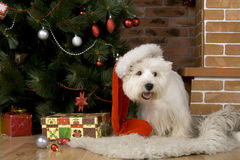 West haigland white terrier, christmas Royalty Free Stock Photography