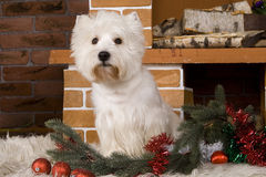West haigland white terrier, christmas Stock Images
