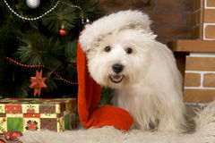 West haigland white terrier, christmas Royalty Free Stock Images
