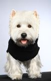 West haigland white terrier. Poising on studio stock photo