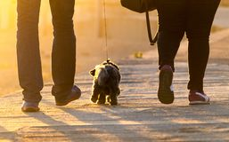 West Highland Brown Terrier Walks Between Couple stock images