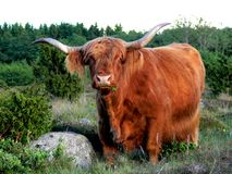 West Highland Cattle eating Grass Stock Image