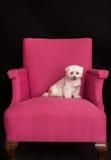West Highland sveglio Terrier bianco che si siede sull'le poltrone rosa immagini stock