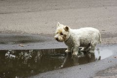 West highland terrier. White dog alone in a a park Royalty Free Stock Photos