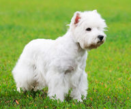 West highland terrier. Dog standing on green grass royalty free stock image