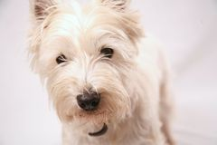 West Highland Terrier. Looking directly into the camera stock photo