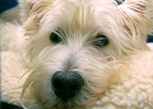 West Highland Terrier. Close up view of a West Highland Terrier stock photos