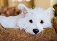 West Highland Terrier  Royalty Free Stock Photos