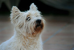 West Highland Terrier Fotografie Stock