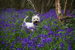 West Highland Terrier in Bluebell Woods Royalty Free Stock Photo