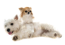 West highland terrier and chihuahua Stock Images