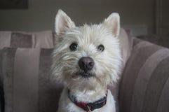West highland terrier Stock Photos