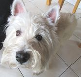 West highland terrier dog close up Stock Photography