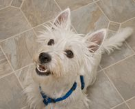 West Highland Terrier Dog Anticipating a Treat. Obedient white west highand terrier sitting and begging for a treat royalty free stock photos