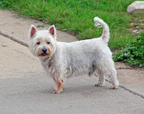 West highland terrier dog. Photo of a cute west highland terrier dog on the coast of whitstable in kent.nphoto taken 22nd may 2015 royalty free stock images