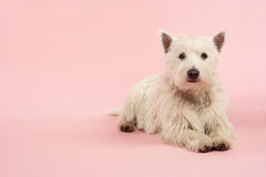 West Highland Terrier Dog In Studio. Looking ahead royalty free stock photography
