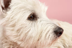 West Highland Terrier Dog In Studio. Looking to the side royalty free stock image